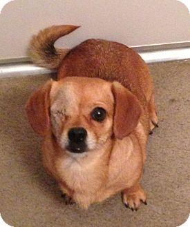 Arcadia Ca Dachshund Meet Precious A Pet For Adoption
