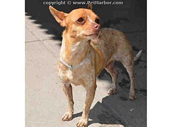 Chihuahua/Australian Cattle Dog Mix Dog for adoption in Englewood, Colorado - DOTTIE