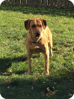 Labrador Retriever/Golden Retriever Mix Dog for adoption in Streamwood, Illinois - Honey B