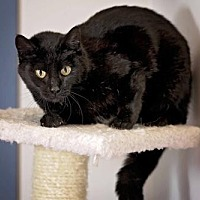 Adopt A Pet :: Midnight - Pryor, OK