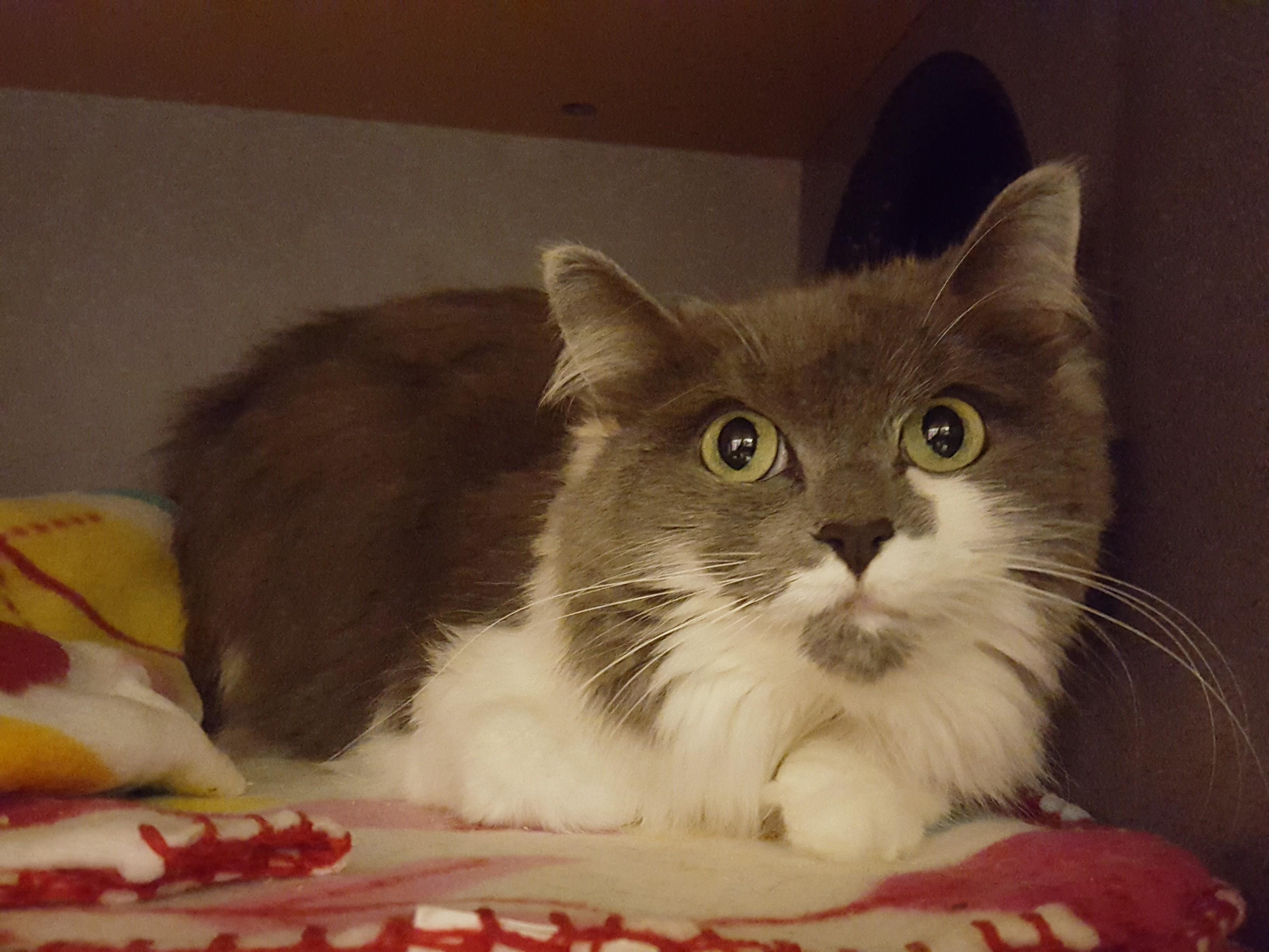 Lexington, KY - Ragdoll  Meet Gracie a Pet for Adoption