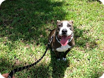 Pit Bull Terrier Mix Dog for adoption in Loxahatchee, Florida - Jessie