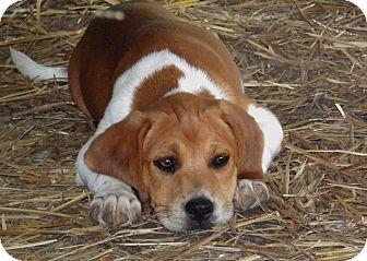 Salem Nh Beagle Meet Puppy Emily A Pet For Adoption