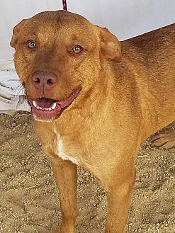 Adopt A Pet :: Josie  - Las Vegas, NV