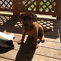 Black Mouth Cur Mix Puppy for adoption in Crestview, Florida - chubs