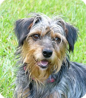 Mocksville Nc Yorkie Yorkshire Terrier Meet Reese A Pet For