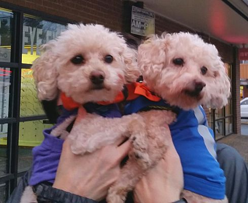 Seattle Wa Poodle Miniature Meet Cocoa Bonded Pair A