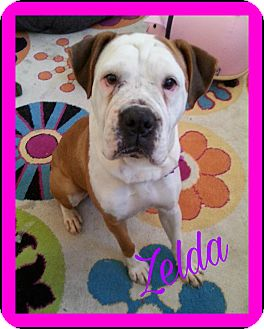 Boxer/English Bulldog Mix Dog for adoption in Allentown, Pennsylvania - Zelda