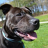 Labrador Retriever Mix Dog for adoption in Brookhaven, New York - Maisy