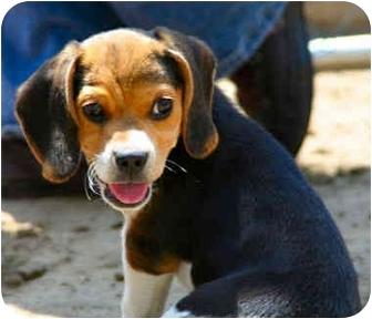Bakersfield Ca Beagle Meet Madison A Pet For Adoption