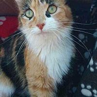 Adopt A Pet :: Callie - Calimesa, CA