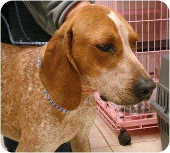Pisgah Al English Redtick Coonhound Meet Clay A Pet
