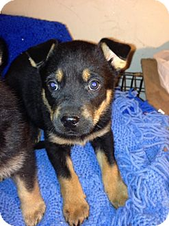 German Shepherd Dog/Rottweiler Mix Puppy for adoption in Tracy, California - Apollo-ADOPTED!!!