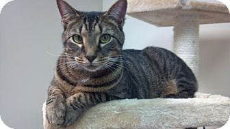 Domestic Shorthair Cat for adoption in Pineville, North Carolina - Ruben