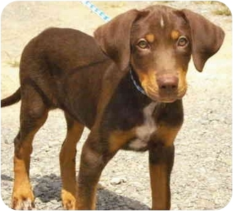 Pisgah, AL - Doberman Pinscher. Meet Amber a Pet for Adoption.