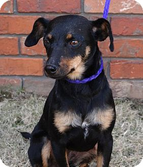Westport Ct Miniature Pinscher Meet Susie Pending A Pet For
