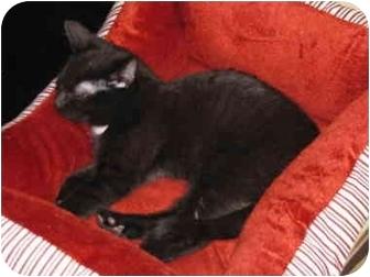 Domestic Shorthair Cat for adoption in Putnam Valley, New York - Tom
