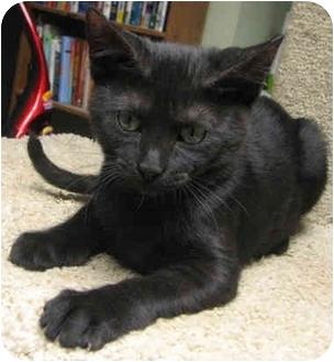 Egyptian Mau Kitten for adoption in Davis, California - Basil