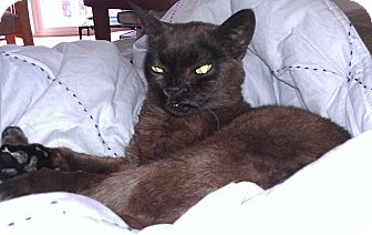 Burmese cats for sale in illinois