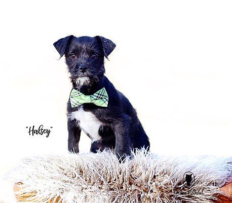 Lubbock Tx Shih Tzu Meet Halsey A Pet For Adoption