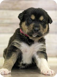 Rottweiler Mix Puppy for adoption in Waldorf, Maryland - Jiggllypuff