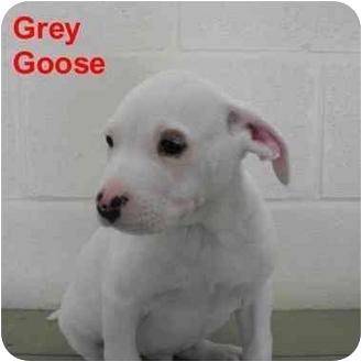 American Bulldog/Labrador Retriever Mix Puppy for adoption in Slidell, Louisiana - Grey Goose