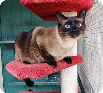 Domestic Shorthair Cat for adoption in Lathrop, California - Roo