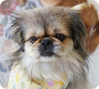 Pekingese Dog for adoption in Los Angeles, California - Cricket
