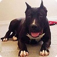 Adopt A Pet :: Raven - Maryville, IL