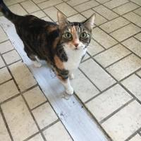 Adopt A Pet :: Cleo - Brooksville, FL