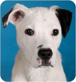chicago il dalmatian meet paulie a pet for adoption