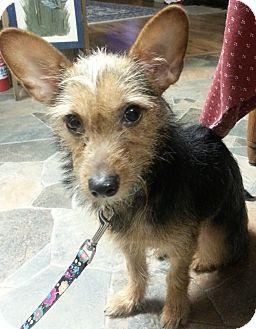 New York Ny Yorkie Yorkshire Terrier Meet Nina A Pet For Adoption