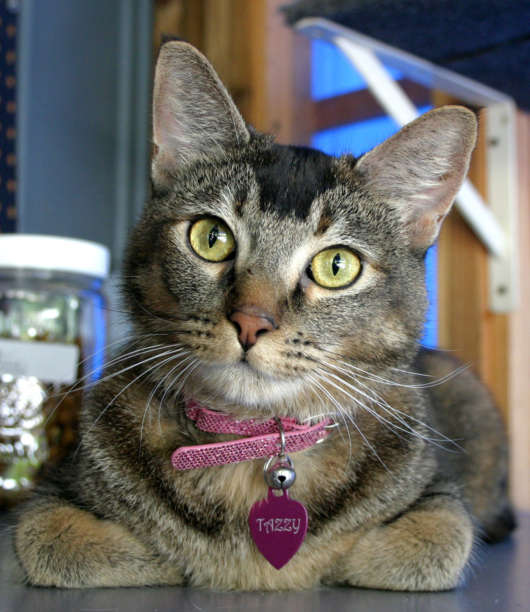Sherman Oaks, CA - Abyssinian. Meet Tazzy a Cat for Adoption.