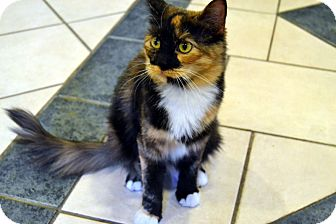 Domestic Mediumhair Cat for adoption in Broadway, New Jersey - Anastasia
