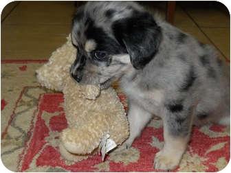 Austin Tx Australian Shepherd Meet Mavis A Pet For Adoption