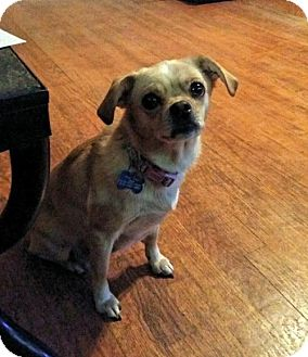 Chihuahua/Pug Mix Dog for adoption in Maryville, Illinois - Bella