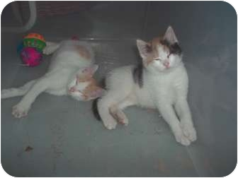 Domestic Shorthair Kitten for adoption in Little Neck, New York - lookin4siblings?