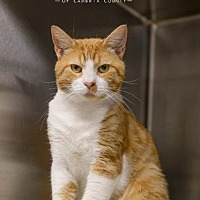 Adopt A Pet :: Cheddar - Johnstown, PA