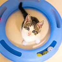 Seville Oh Domestic Shorthair Meet Petsmart Medina Cats