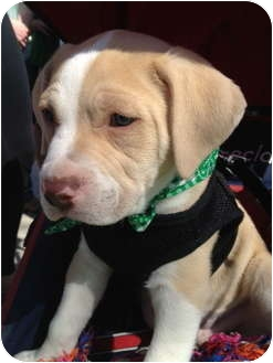 Worcester Ma English Bulldog Meet Cooper A Pet For Adoption
