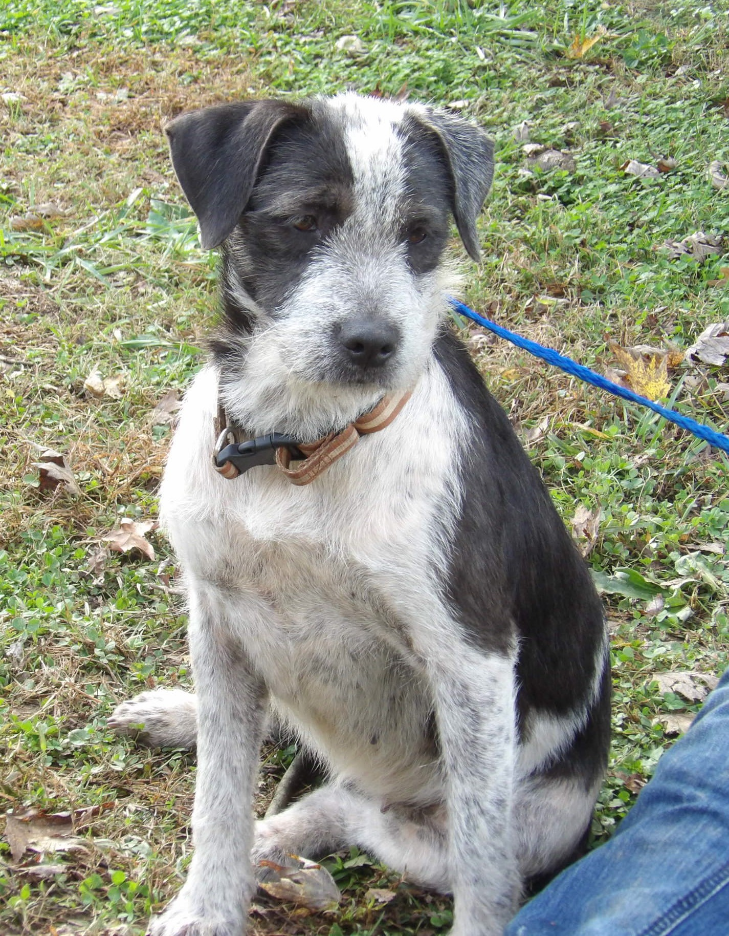 Burlington, VT - Wirehaired Fox Terrier. Meet Pebbles (40 lb) Unique ...