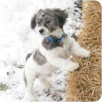 Buckeye Lake Oh Shih Tzu Meet Andy A Pet For Adoption