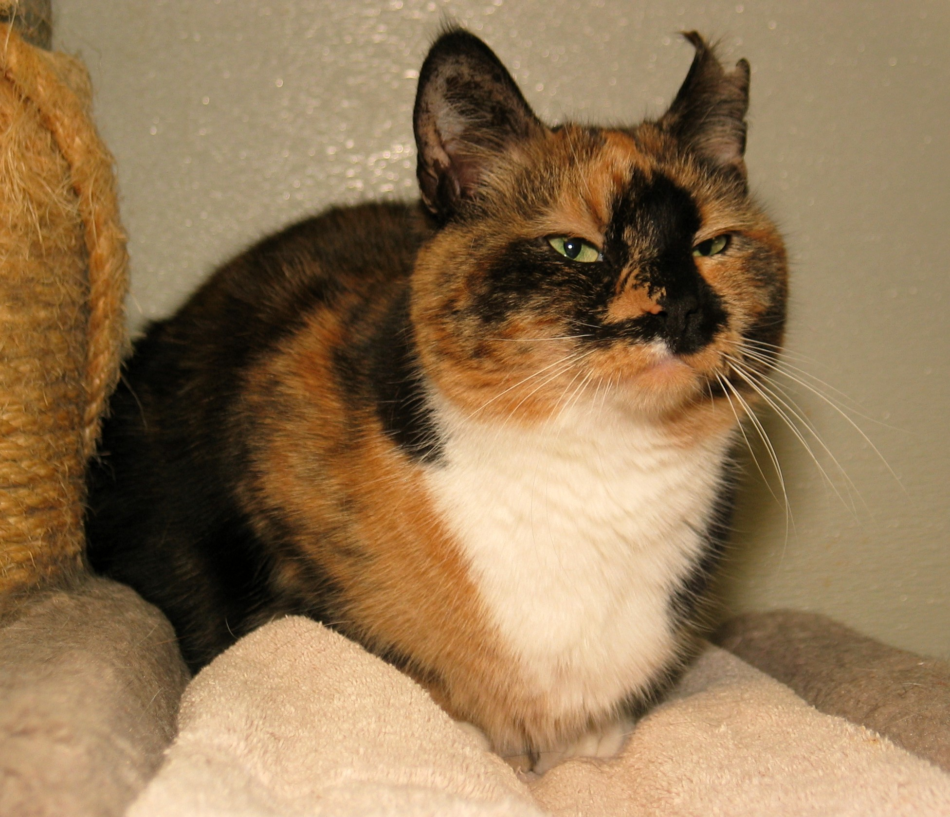 Milford, MA - Calico. Meet Snookie a Cat for Adoption.