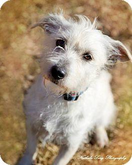 Charlotte Nc Westie West Highland White Terrier Meet Fiona A