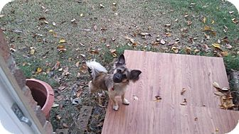 Papillon/Brussels Griffon Mix Dog for adoption in Dallas, Texas - Ryder