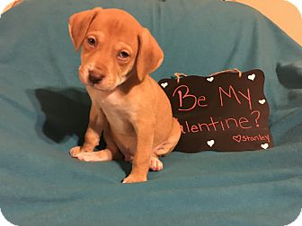 Labrador Retriever Mix Puppy for adoption in Grand Rapids, Michigan - Stanley