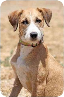 West Los Angeles, CA - Wirehaired Fox Terrier. Meet Julia a Dog ...