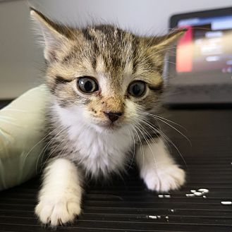Adopt A Pet :: Grundgetta  - Moose Jaw, SK