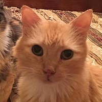 Adopt A Pet :: Ham - Austin, TX