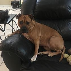 Boxer Puppies for Sale in Gainesville Florida - Adoptapet com